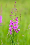 Blooming fireweed (Epilobium angustifolium) Stock Photography