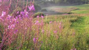 Blooming fireweed in field at sunset stock video footage