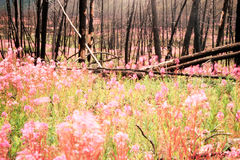 Blooming Fireweed after Wildfire. Blooming fireweed, epilobium angustifolium, begins cycle of life again after devastating forest fire in boreal forest of Yukon royalty free stock image
