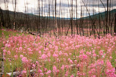 Blooming Fireweed after Wildfire. Blooming fireweed, epilobium angustifolium, begins cycle of life again after devastating forest fire in boreal forest of Yukon stock photo