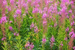 Blooming Fireweed Stock Photos