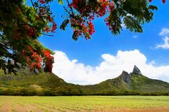 Flamboyant Tree and Mountains,Mauritius Island stock images