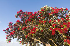 Blooming flamboyant tree with red flowers Stock Photography