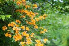 Blooming Flame Azaleas Royalty Free Stock Photo