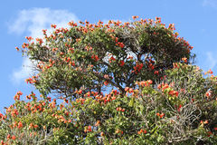 Blooming flame tree on Madeira, Spathodea campanulata Stock Photo