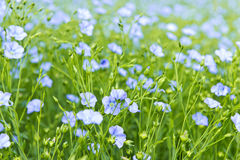 Blooming flax. Background of blooming blue flax in a farm field Stock Photos