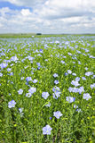 Blooming flax field Stock Image