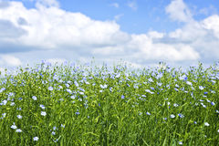 Blooming flax field Stock Photos