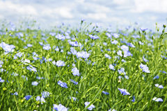 Blooming flax field Royalty Free Stock Photo