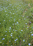 Blooming flax field Royalty Free Stock Images
