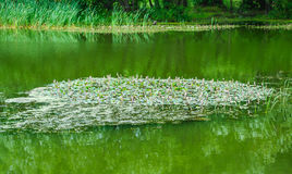 Blooming floating Pondweed on the pond Royalty Free Stock Image