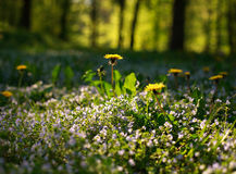 Blooming floral meadow on forest background on sunshine Stock Images