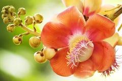 Nagalinga or Shivalinga Flower Royalty Free Stock Images