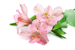 Blooming flower Alstroemeria Stock Images