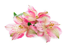 Blooming flower Alstroemeria Royalty Free Stock Photo