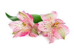 Blooming flower Alstroemeria Stock Image