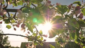 Blooming Flower Apple Tree Sways In Wind And The Sun Shines Through Its Leaves. The blooming flower on the branch of Apple tree sways in the wind. Through its stock video footage