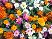 Blooming flower background. Colourful blooming Zinnia flowers in the garden royalty free stock photos