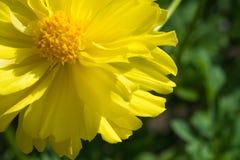 Blooming flower. Beautiful elegance yellow blooming flower royalty free stock image