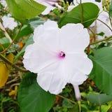 Blooming Flower. Beautiful white flower blooming Stock Photos