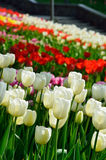 Blooming flower bed of tulips Royalty Free Stock Photos