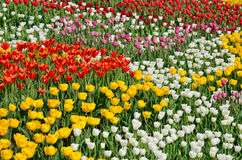 Blooming flower bed of various tulips Stock Photos