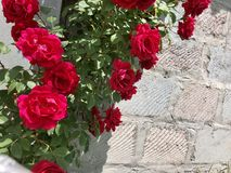 Climbing Rose Harlequin And Butterfly Stock Photo Image