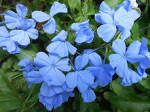 Cape leadwort. Blue blooming flowers Stock Image