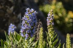 Blooming flower of Blue Tajinaste. Island of La Gomera, Canary Islands, Spain royalty free stock images