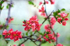 Blooming flower branch covered with dew Royalty Free Stock Images