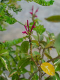 Blooming flower of caricature plant. Or Graptophyllum pictum, a kind of native shrub in New Guinea Stock Photos