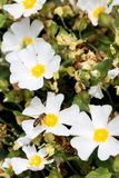 Blooming flower chamomile with leaves, living natural nature royalty free stock photo