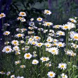 Blooming flower chamomile with leaves, living natural nature stock images