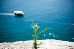 A blooming flower on a cliff near the sea stock photo