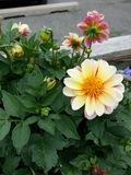 Blooming flower. Closeup of flower in full bloom Royalty Free Stock Photos