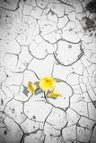 Blooming flower in cracked dirt Royalty Free Stock Image