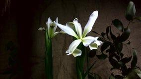 Blooming of flower stock footage