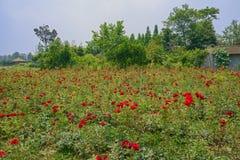 Blooming flower field outside farmstead Royalty Free Stock Image