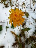 Blooming flower in the first snow royalty free stock images