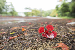 blooming flower of flame tree Royalty Free Stock Images