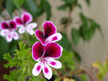 Blooming flower. Geranium flower blooming with two blossoms in front Stock Photography