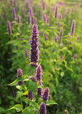 Blooming flower (giant hyssop ) royalty free stock photos