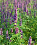 Blooming flower (giant hyssop ). Beautiful blooming flowers (giant hyssop ) on a meadow royalty free stock photography