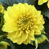 Blooming flower head of a yellow dahlia Royalty Free Stock Image