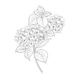 Blooming flower hydrangea Stock Photography
