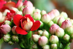 Blooming Flower with Many Buds. Closeup View of a Bunch of Red Flower and Buds Royalty Free Stock Photography