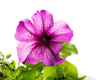 Blooming Flower Petunia with green leaves Stock Images