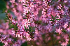 Free Blooming Flower Pink Prunus Triloba With Blurred Green Nature Background. Springtime Blossom Concept Royalty Free Stock Photos - 167052558