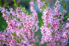 Free Blooming Flower Pink Prunus Triloba With Blurred Green Nature Background. Springtime Blossom Concept Royalty Free Stock Photography - 167052597