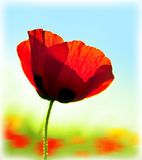 Blooming flower poppy field Royalty Free Stock Image
